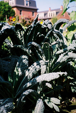 Kale growing outside in the sunshine